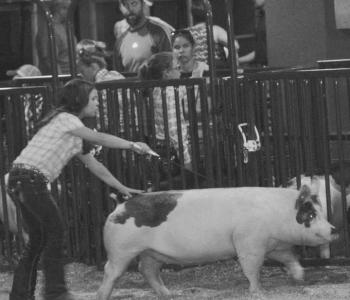Image Hornung Show Pigs