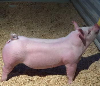 Image Wurzelbacher Show Pigs